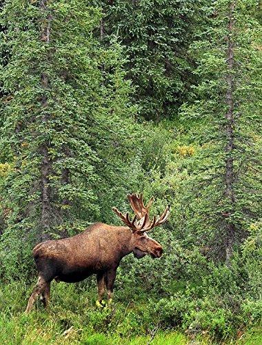 LAMINATED POSTER Portrait Bull Wildlife Landscape Moose Profile Poster Print 24 x 36 - Moose Portrait