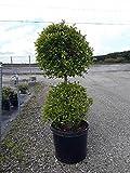 PlantVine Eugenia Globulus - Topiary 2 Ball, Syzygium paniculatum 'Globulus' - Medium - 6 Inch Pot (1 Gallon), 4 Pack, Live Plant