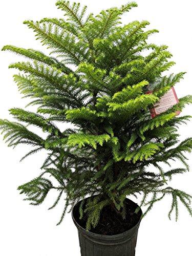 "Norfolk Island Pine - The Indoor Christmas Tree - 8"" Pot - 20-24"" Tall"