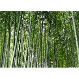 Giant Bamboo Seeds - Approximately 50 Seeds