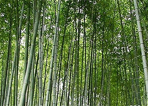 Moso Bamboo Seeds - Approximately 50 Seeds