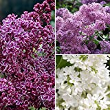 French Fragrant Hardy Lilac Bush Collection - 3 Plants in 9cm