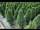 Eugenia Globulus - Topiary Cone, Syzygium paniculatum 'Globulus' - 3 Gallon Live Plant - 4 pack