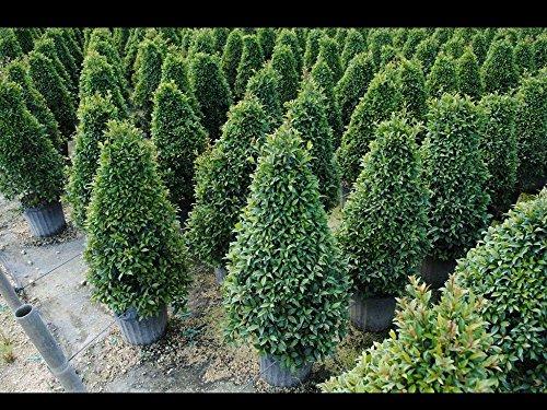 Eugenia Globulus - Topiary Cone, Syzygium paniculatum 'Globulus' - 3 Gallon Live Plant - 4 pack by PlantVine