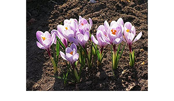 a0db00770056 Amazon.com  Home Comforts Laminated Poster Bloom Crocus Cold Flower Pale Lilac  Flower Spring Poster Print 24 x 36  Posters   Prints