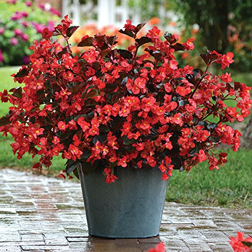 Begonia Megawatt Bronze Leaf Red Flower Seeed (100)