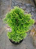 (Quart) Dwarf EMERALD GREEN ARBORVITAE- Evergreen, Very Cold Hardy, Great for Colder Zones, Quart size plant shipped in plastic bag or 3'' pot.