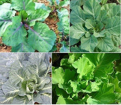 David's Garden Seeds Collection Set Collards SL287 (Multi) 4 Varieties 1100 Plus Seeds (Open Pollinated, Heirloom, Organic) by David's Garden Seeds