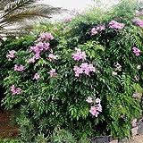 Pink Trumpet Vine Seeds (Podranea ricasoliana) 50 Seeds