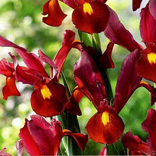 Dutch Iris Red Ember bulbs,beautiful flower, rich blend of red,brown purple tone ()