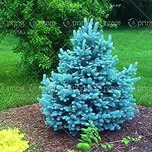 20pcs/bag Colorado Blue Spruce Tree Seeds Tree Potted Bonsai Courtyard Garden Bonsai Plant Pine Tree Rare Seeds home garden 2