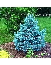 20pcs/bag Colorado Blue Spruce Tree Seeds Tree Potted Bonsai Courtyard Garden Bonsai Plant Pine Tree Rare Seeds home garden