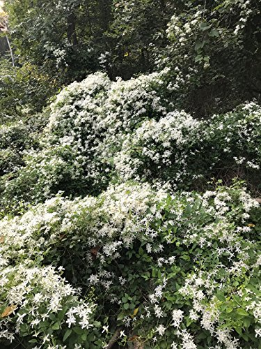 """5"""" + Autumn Clematis Vine Paniculata White Pot 3"""" Fast Growing Zone 5-10. Shade"""