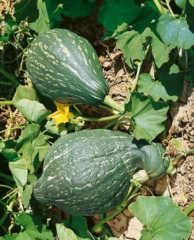 Non-gmo gluten free Seed  FREE Shipping GREEN HUBBARD 25 Heirloom SQUASH