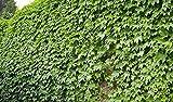 Parthenocissus tricuspidata 10pcs Boston Ivy