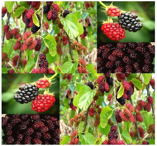 50-black-mulberry-fruit-tree-seeds-morus-nigra-a-shade-tree-with-edible-fruits