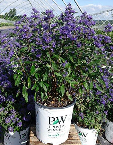 Proven Winners - Caryopteris X cland. Beyond Midnight (Bluebeard) Shrub, , #2 - Size Container by Green Promise Farms (Image #1)