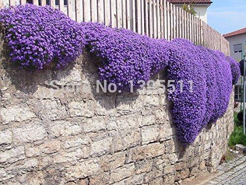 100/Rock Cress,Aubrieta Cascade Purple FLOWER SEEDS, Deer Resistant Superb perennial ground cover,flower seeds for home garden by natalie