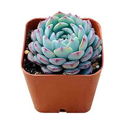 """Succulent Plant, Echeveria Minima, Mini Rosette Succulent Fully Rooted in 2"""" Planter for Indoor Office Baby Shower Party Décor : Garden & Outdoor"""