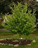 50 American Hornbeam Tree Seeds, Carpinus Caroliniana