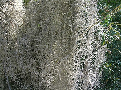 Fresh, Clean Spanish Moss Floral Decoration 28 lb Case by Moss4U (Image #1)