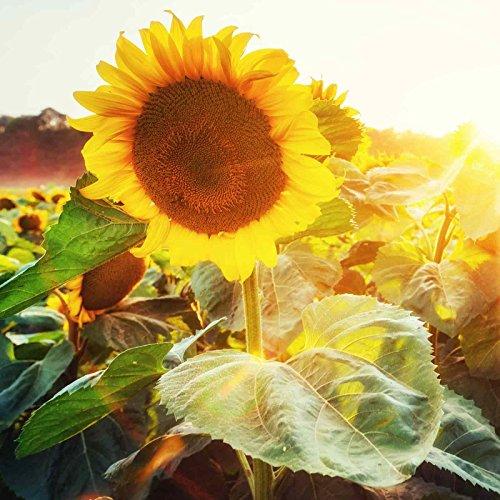 Sunflower Flower Garden Seeds - Sunspot - 1 Oz - Annual Wildflower Gardening Seeds - Sun Spot Sun Flower by Mountain Valley Seed Company
