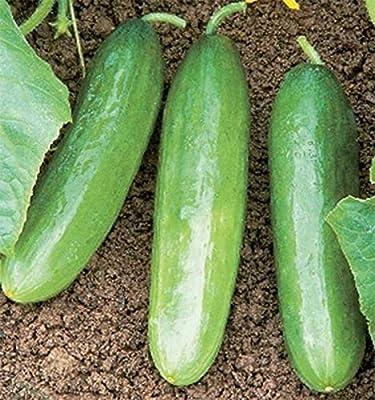 Diva F1 Cucumber Seeds - vigorous, disease-resistant plants, Burpless too!!
