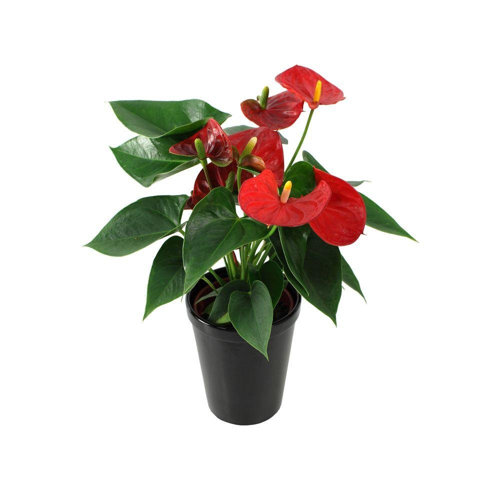 Anthurium Red - Live House Plant - Easy to Grow - Florist Quality - Cleans the Air