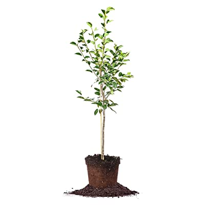Perfect Plants Kieffer Pear Tree Live Plant, Produces Fruit, 4-5', Includes Care Guide : Garden & Outdoor