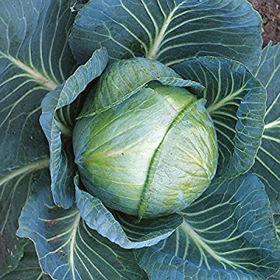 Cabbage - Stonehead - 95 Seeds