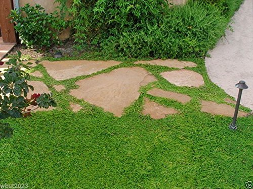 - Herniaria Glabra Seeds - GREEN CARPET- Ground-Cover,Grow in poor soil and gravel(1800 Seeds)