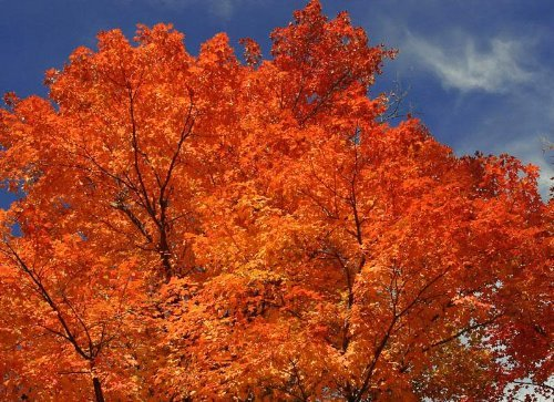 20 TARTARIAN FLAME MAPLE TREE Red Acer Tartaricum Seeds by Seedville (Maple Tree That Turns Bright Red In Fall)