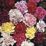 40 Seeds/Pack Of Carnation Chabaud Giants Mix Sweet Spicy Fragrance