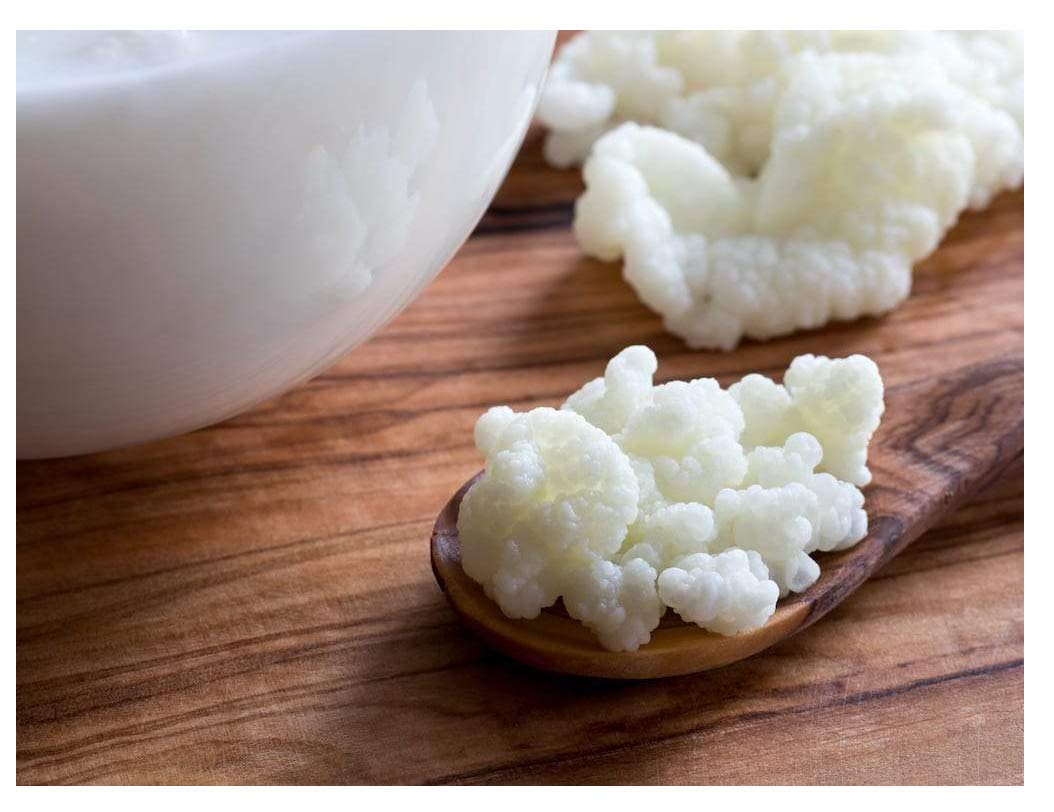 Milk Kefir Grains Live Fresh Mesophilic Starter to Make Drinkable Yogurt Bacteria from Mesophilic Cultures