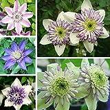 50pcs Mixed Color Clematis Florida Seeds Garden Herbaceous Climber Plant