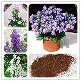 AGROBITS 100 Pcs Flower Abutilon Pictum Bonsai Garden Bonsai Flower Bonsai Easy Grow Chinese Bell Flower Bonsai Campanula: Mix