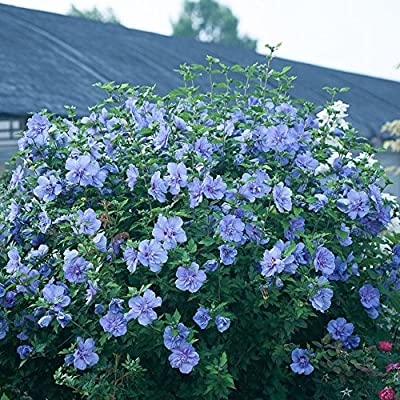 blue HIBISCUS SYRIACUS ROSE OF SHARON winter hardy seeds : Garden & Outdoor