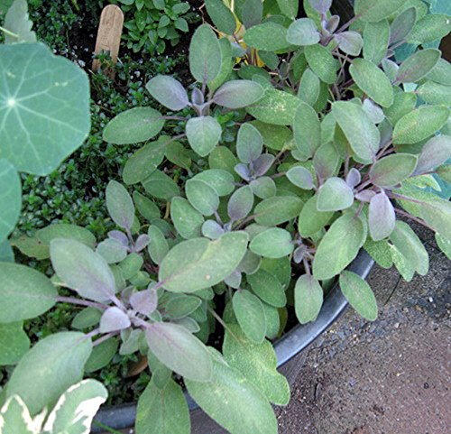 Purple Sage Herb - Grow Indoors/Out - Live Plant - 3