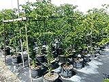 Guaiacum Sanctum, Lignum Vitae - 3 Gallon Live Plant