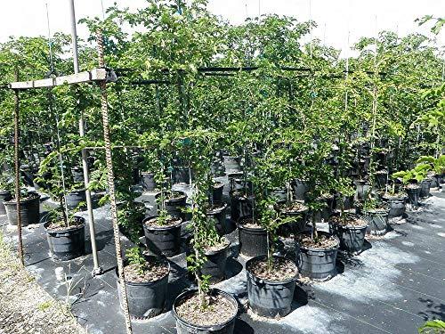 Guaiacum Sanctum, Lignum Vitae - 3 Gallon Live Plant by plantvine (Image #1)