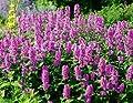 Catmint Seeds - 'Pink Cat'- Nepeta nervosa - Compact, heat tolerant ,Perennia