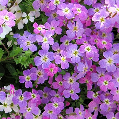 Stock Flower Seeds - David's Garden Seeds Flower Stock Virginia MI134TG (Purple) 500 Open Pollinated Seeds
