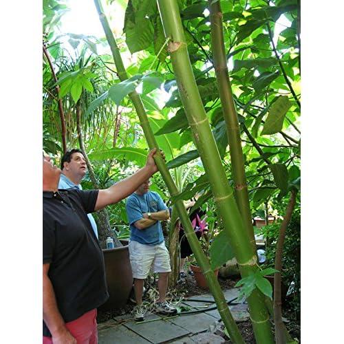 #1317* GIANT MONSTER CROSS ZANZIBARIENSIS * World's Largest* 20-35 ft.* 5 seeds*
