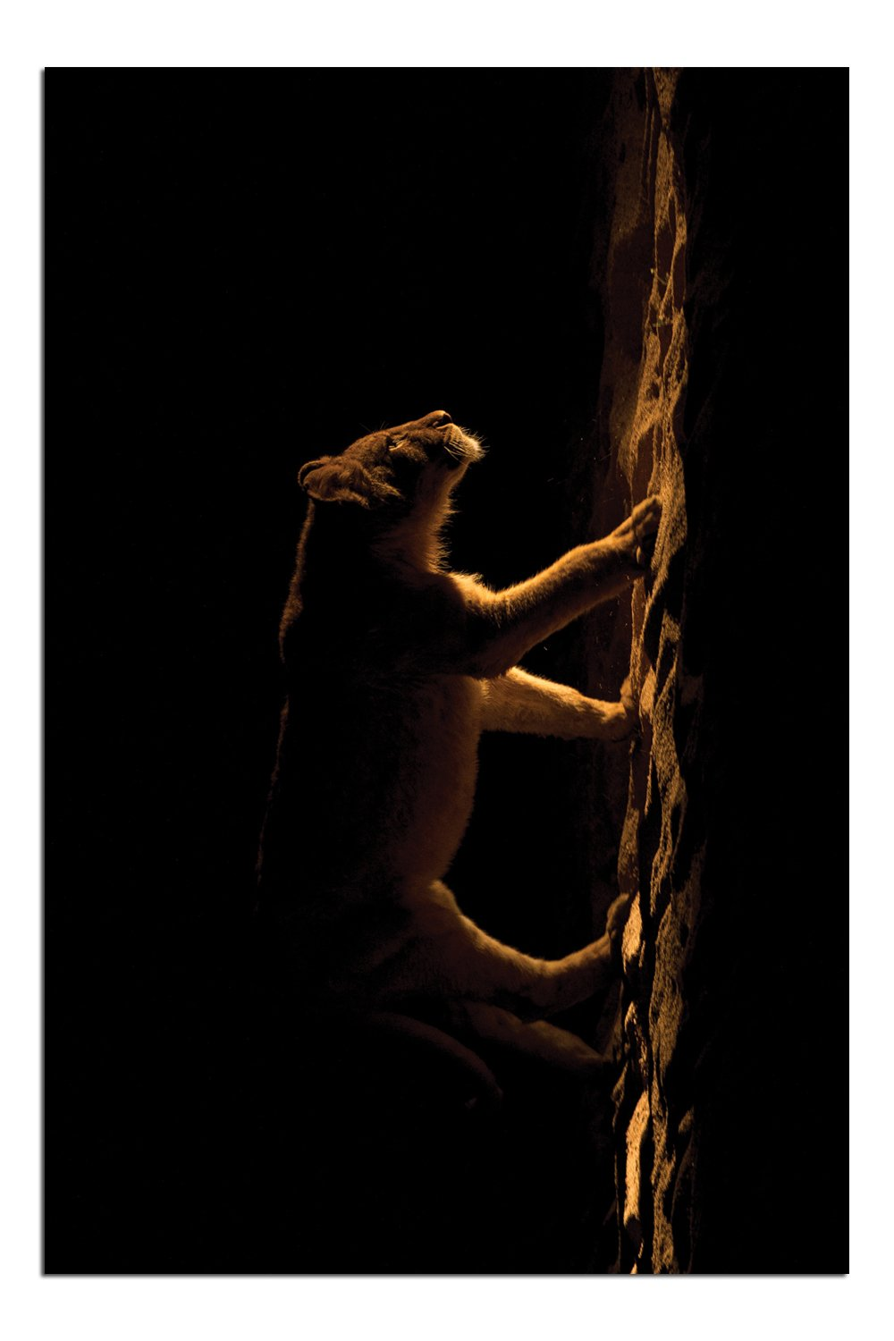 JP London Solvent Free Print PAPM1X221916 The Spot Lion Night Hunt Ready to Frame Poster Wall Art 36 h by 24 w