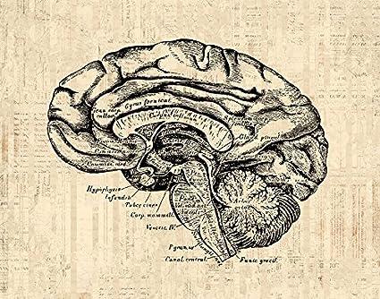 Amazon Old Fashioned Brain Diagram Print For Medical Anatomy