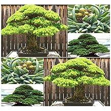 (5) White 5 NEEDLED Pine Tree Seed- Japanese BONSAI - Pinus parviflora Tree Seed