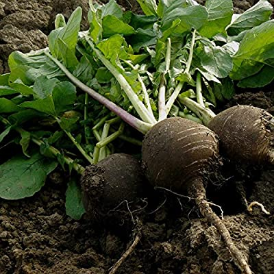 Radish Garden Seeds - Black Spanish Round - Non-GMO Vegetable Gardening Seeds by Mountain Valley