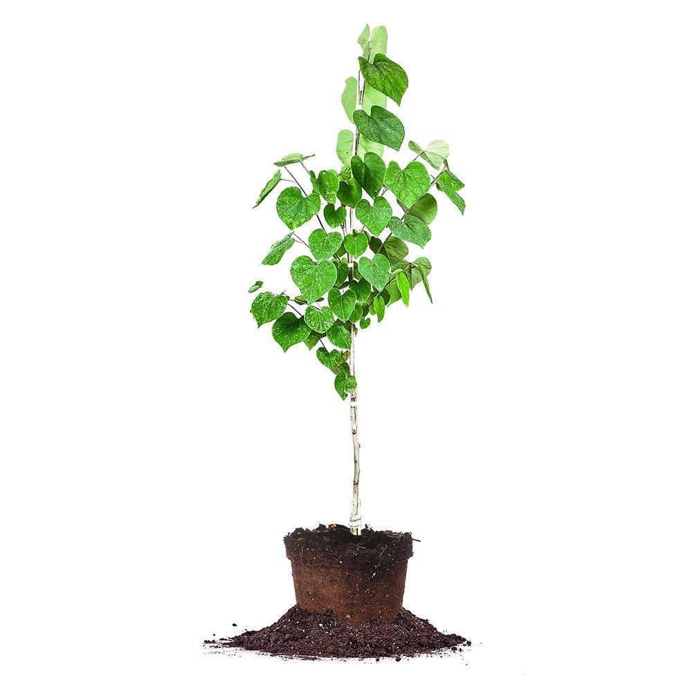 Eastern Redbud - Size:  4-5 ft, live plant, includes special blend fertilizer & planting guide
