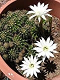 """Easter Lily Cactus, Echinopsis oxygona #18-05 Rooted Plant 2"""" x 2"""", eryriesii"""