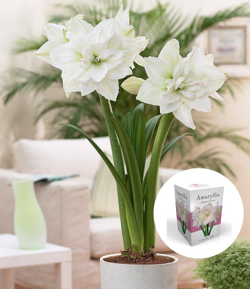 BALDUR-Garten Geschenkbox gefüllte AmaryllisDouble Red-White 1 Set Ritterstern Hippeastrum